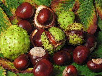 Non-edible horse chestnuts