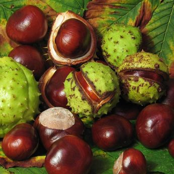Non-edible horse chestnuts